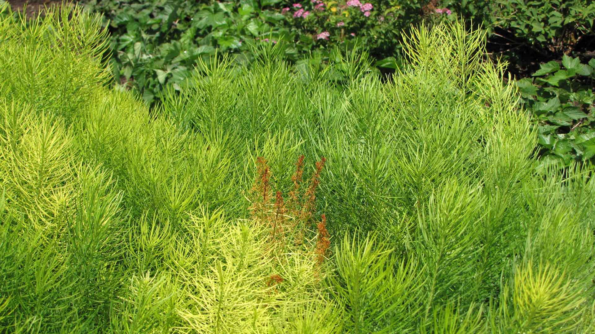 Amsonia hubrichtii with a bit of early Round Up damage showing - otherwise looks great for a drought stricken July.