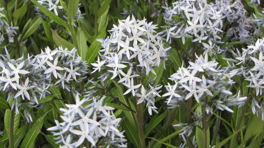 Amsonia tabernaemontana flowers will fade to a pale, icy blue as they age