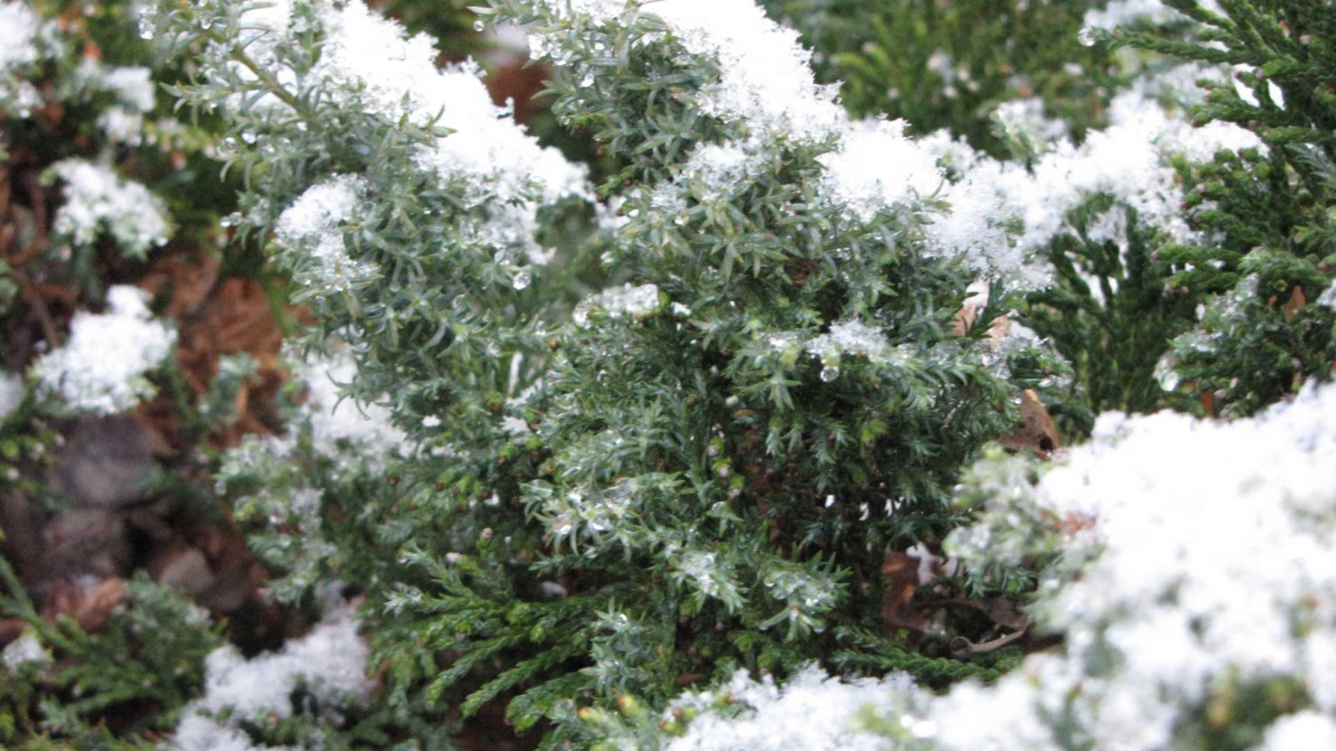 Chamaecyparis obtusa 'Split Rock' with some cold frosting