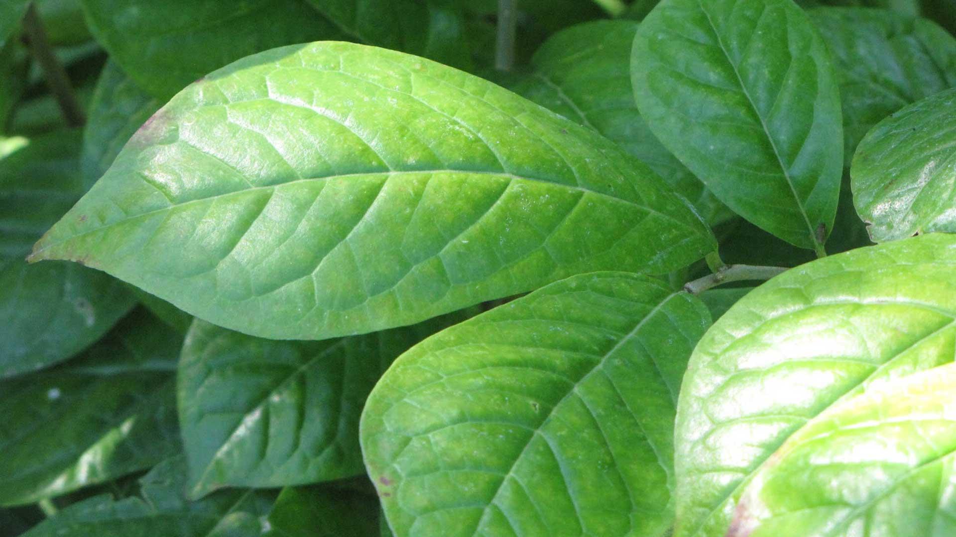 Orixa japonica, leaf