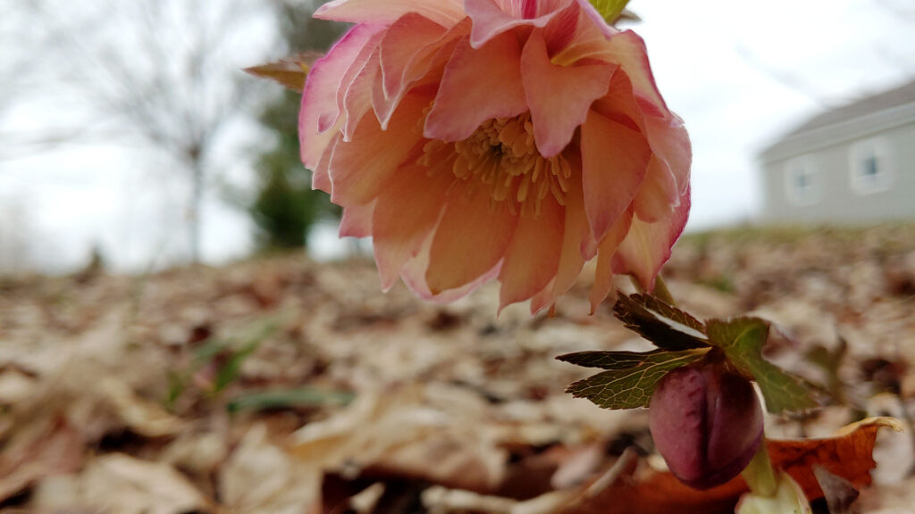 Hellebores Podcast
